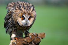 Free Long-eared Owl Stock Image - 25354251