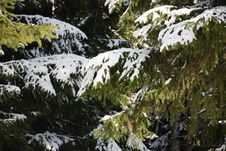 Free Many Branches Of Big Spruce Tree With Snow Stock Photos - 25355603