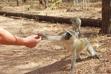 Free Human Feeding Monkey Fruit Royalty Free Stock Photography - 25356787
