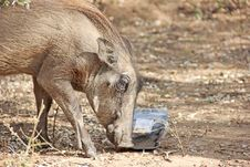 Free Warthog Feeding On Human Litter Stock Photo - 25356960