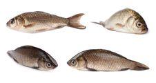 Freshwater Fish Royalty Free Stock Photos