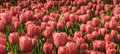 Free Field Of Pale Red Tulips Royalty Free Stock Photography - 25363197