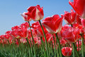 Free Forest Of Red Tulips Stock Photography - 25363682