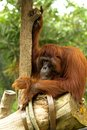 Free Hairy Orangutan Sitting At A Tree Stock Images - 25364784