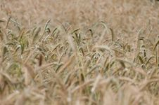 Free Backgroung From A Wheaten Field, DOF Middle Royalty Free Stock Photo - 25361155
