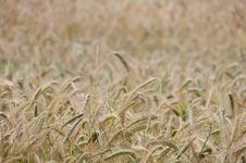 Free Backgroung From A Wheaten Field, Small Focus Stock Photo - 25361180