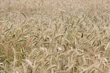 Free Wheaten Field, Fullframe. Royalty Free Stock Images - 25361229