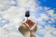 Free Black Tulip In Hands Royalty Free Stock Photo - 25361555