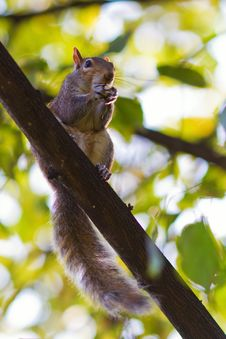 Free Cute Squirrel Sitting On A Branch Royalty Free Stock Photography - 25362067