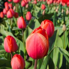 Free Red Tulip Among Others Royalty Free Stock Photography - 25363227