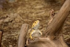 Free Agama Bearded Stock Photography - 25365372