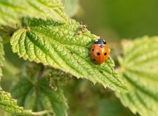 Free Ant And Ladybird Royalty Free Stock Photos - 25366268
