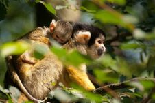 Free Squirrel Monkey With Young Royalty Free Stock Photo - 25366705