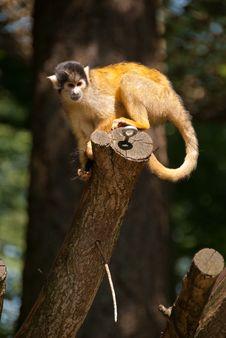 Free Squirrel Monkey In Tree Royalty Free Stock Photos - 25366708