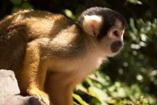 Free Squirrel Monkey In Tree Stock Photography - 25366712