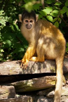 Free Squirrel Monkey In Tree Royalty Free Stock Photo - 25366715