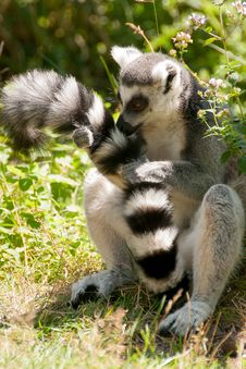 Free Ring-tailed Lemur Royalty Free Stock Photography - 25366717