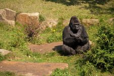 Free Gorilla Stock Image - 25366721