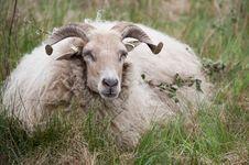 Free Male Sheep Royalty Free Stock Photos - 25366728