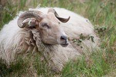Free Male Sheep Royalty Free Stock Image - 25366736