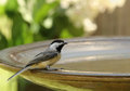 Free Black-capped Chickadee Stock Images - 25375614