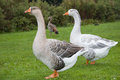Free Two Geese Stock Image - 25379741