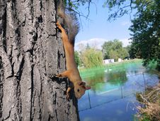 Free Squirrel. Royalty Free Stock Photography - 25370287