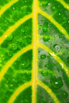 Free Water Drops And Green Leaves Stock Images - 25371514