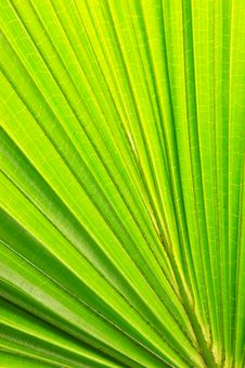 Free Leaves Palm Background Royalty Free Stock Images - 25371529