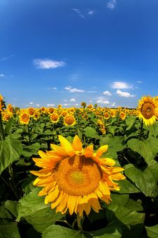 Free Sunflowers Stock Images - 25376534
