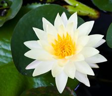 Free The White Lotus. Royalty Free Stock Image - 25377676