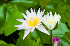 Free Purple Lotus Blossom. Royalty Free Stock Images - 25377749