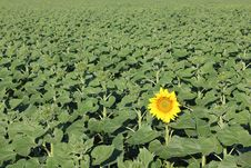 The First Blooming Sunflower Stock Photography