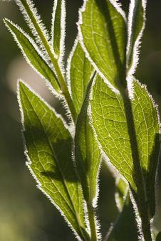 Leaves Backlit Stock Image