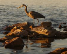Free Great Blue Heron Royalty Free Stock Images - 25379099