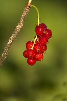 Free Red Currant Stock Image - 25379131