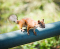 Free Red Squirrel Stock Photo - 25385770