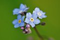 Free Forget-me-not Royalty Free Stock Photography - 25389627