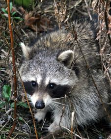 Free Raccoon Stock Photos - 25383463