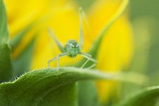 Free Baby Grasshoper In A Leaf Royalty Free Stock Images - 25383839