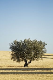 Free Olive Tree In A Meadow Stock Image - 25383891