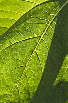 Free Close-up Of A Leaf Royalty Free Stock Photo - 25384115