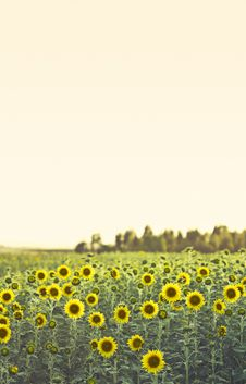 Free Field Of Sunflowers Royalty Free Stock Images - 25384159