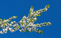 Free Branch Of Cherry Blossoms Stock Images - 25393924
