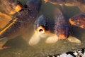 Free Koi Fish Stock Images - 25397234