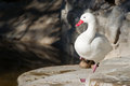 Free White Duck Royalty Free Stock Images - 25397249