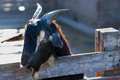 Free Black Goat Royalty Free Stock Photo - 25397345