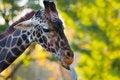 Free Giraffe Royalty Free Stock Image - 25397376