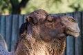 Free Camel Closeup Royalty Free Stock Images - 25397409