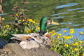 Free Male Duck Sitting In Bright Sun Royalty Free Stock Photos - 25398168